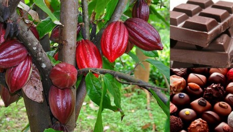 Nigeria Plans to Boost Cocoa Output of 500,000 Tons in 2014 - 2015