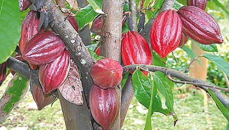 Cocoa - a good revenue earner to farmers
