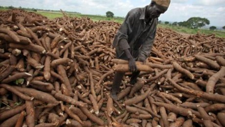 FG Focuses on 51m MT Cassava Production by 2017