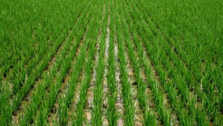 Nigeria will become rice exporter by 2017 —FG