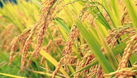 Rice valuation cycle increase in Nigeria and Africa