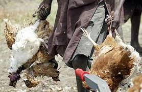 Kano Creates Committee To check Bird Flu