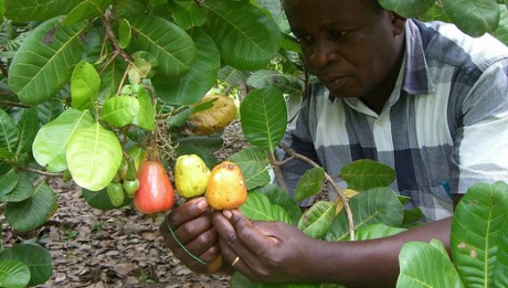 Nigeria to Gain N1tn in 10 Years from Cashew Production