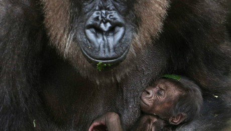 The inseparable bond between mother gorilla and her newborn