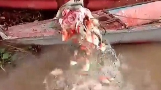 Hundreds Of Bloodthirsty Piranhas Gobbling Bull's Head In Just SECONDS
