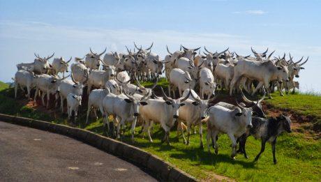 Kano Creates Grazing Reserves For Herdsmen