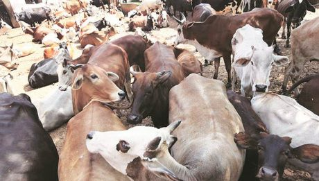 Cows To Carry Micro Chips In Katsina