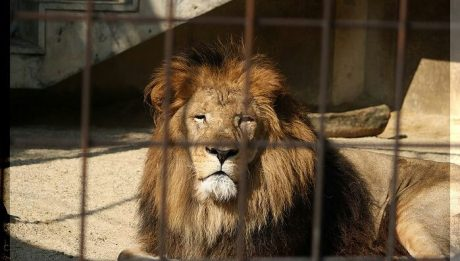 Imminent danger at OAU zoo, as lions go hungry