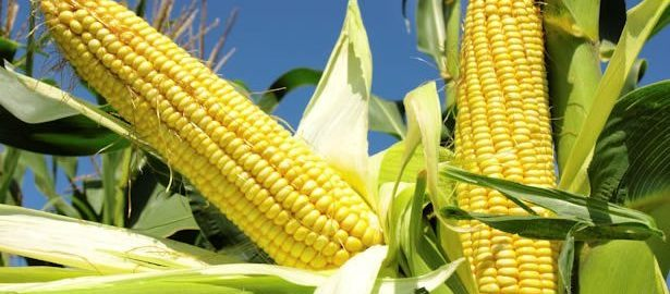 The Maize Farmers Association of Nigeria says production of the commodity increased from eight million tonnes to 20 million tonnes