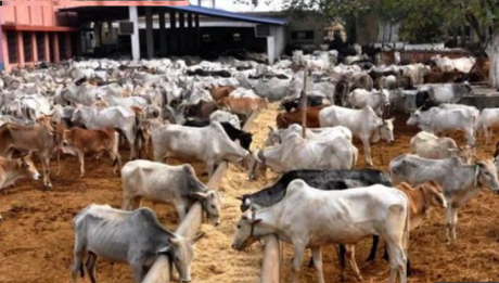 Udom imports 2,000 cattle from Brazil