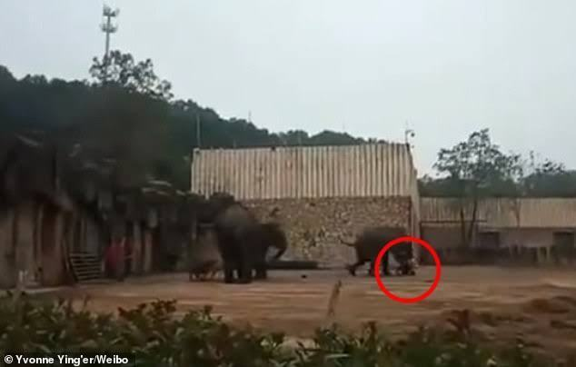 Sexually aroused elephant tramples keeper to death in Chiana zoo
