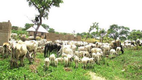 Ebonyi Rice Farmers Helpless As Herdsmen, Cows Destroy Their Farms