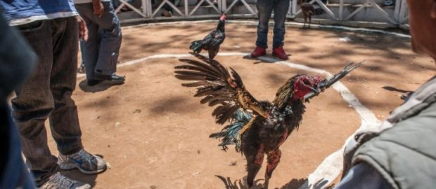 Rooster Kills Its Owner