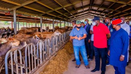 Fayemi Imports 227 Pregnant Cows From US
